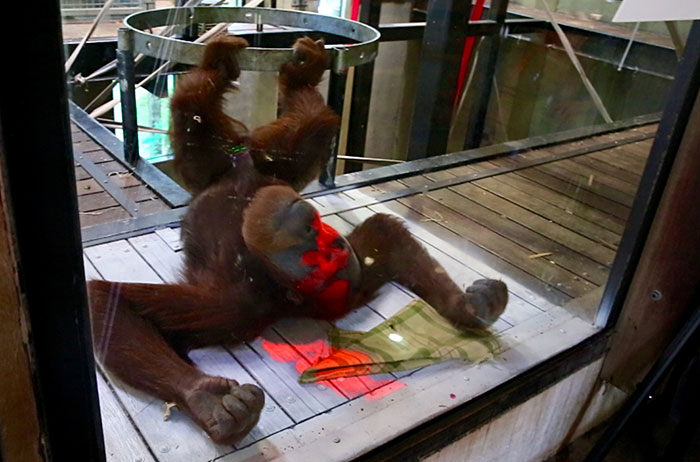 Orang-utan lying on its back with red light shining on its face.