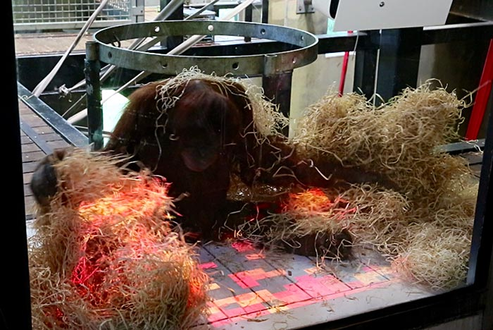 Orang-utan sitting in straw and concentrating on a checkboard of coloured lights on the ground.