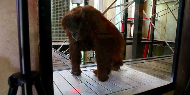orang-utan leaning on her knuckles and looking down